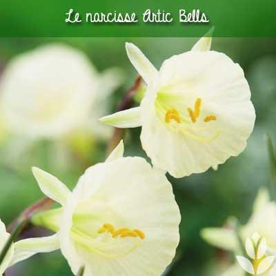 narcisses artic bells