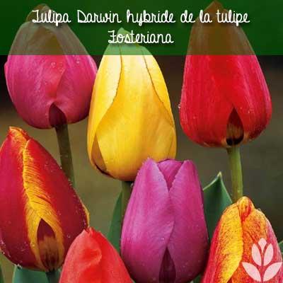tulipa darwin