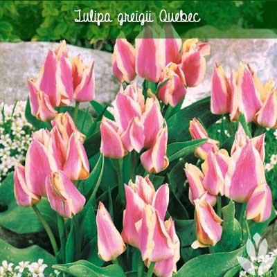 Tulipa greigii Quebec