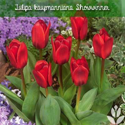 Tulipa kaufmanniana Showwinner
