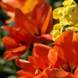 tulipe botanique du jardin