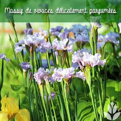 massif iris