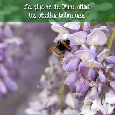 abeille et glycine de Chine