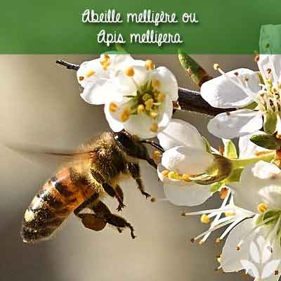 abeille mellifère