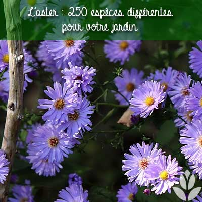 250 espèces d'aster différentes pour le jardin