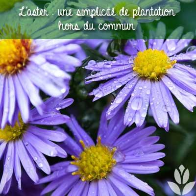 simplicité de plantation des asters