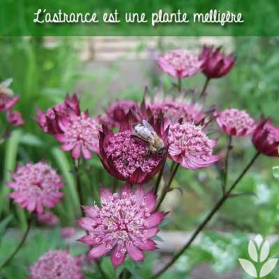 astrance mellifère abeille