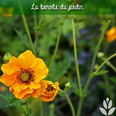 benoîte du jardin