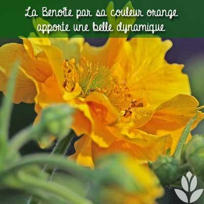 Benoîte orange