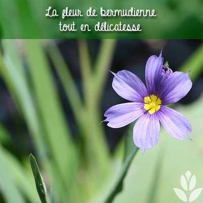 délicate fleur de bermudienne