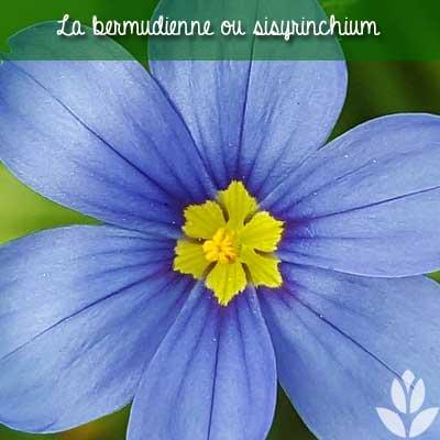 fleur de bermudienne
