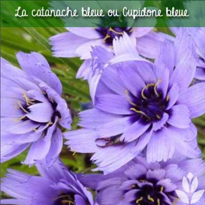 catananche bleue
