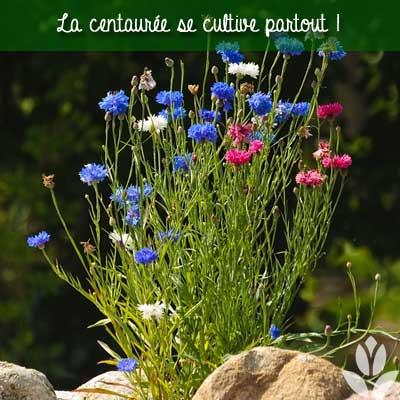 la centaurée se cultive partout