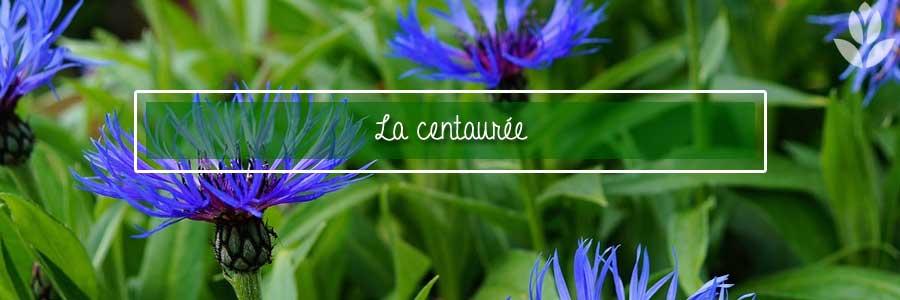 centaurée