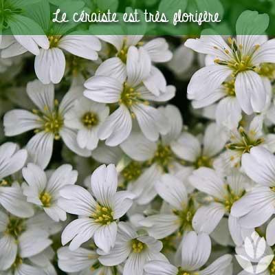 céraiste florifère