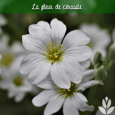 fleur de céraiste