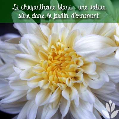 chrysantheme blanc