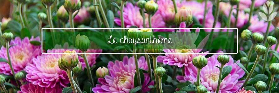 chrysanthèmes du jardin