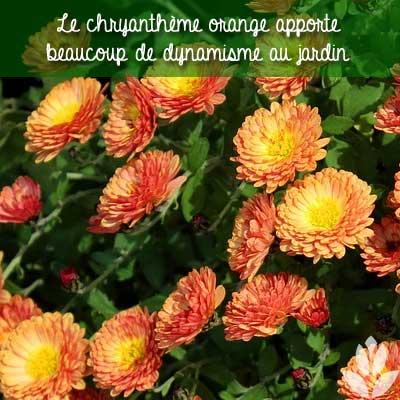 chrysanthèmes oranges