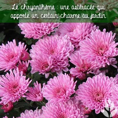 chrysanthème pour le ardin