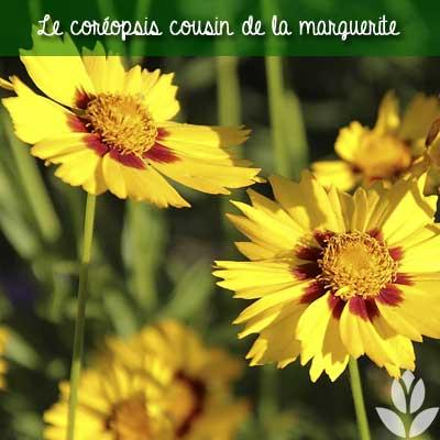 coreopsis cousin de la marguerite