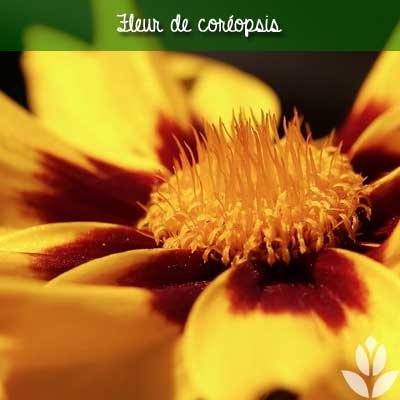 fleur de coreopsis