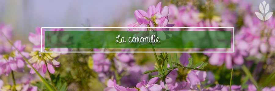coronille coronilla plante