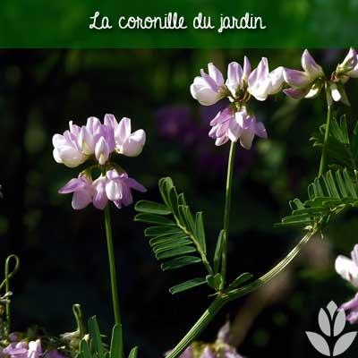 coronille du jardin