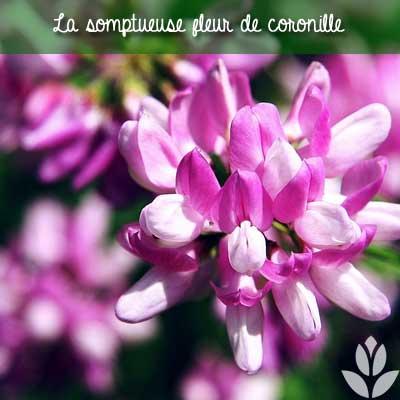 fleur de coronille