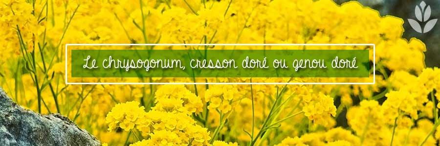 cresson genou doré du jardin