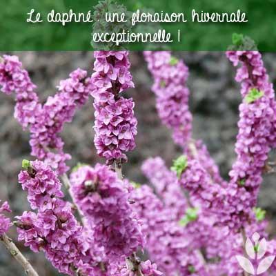 floraison hivernale de la daphné
