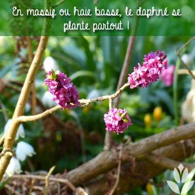 où planter le daphné?