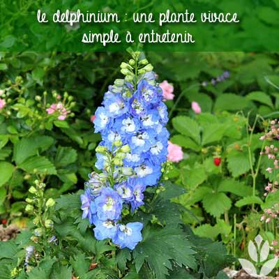 delphinium jardin