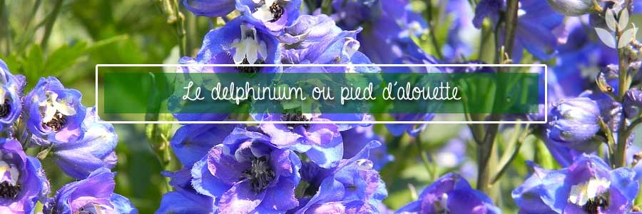delphinium ou pied d'alouette