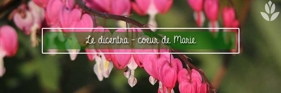 dicentra coeur de Marie