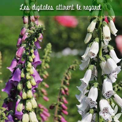digitales du jardin
