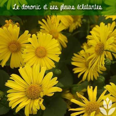 doronic fleurs
