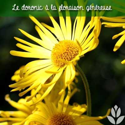 doronic floraison généreuse