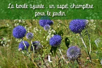 echinops plante champêtre