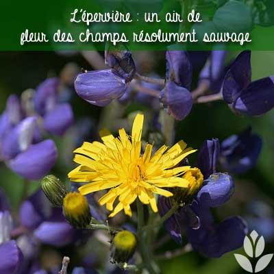 épervière fleur sauvage