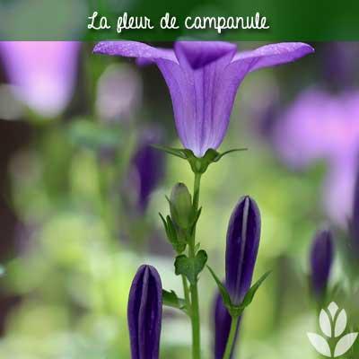 fleur de campanule