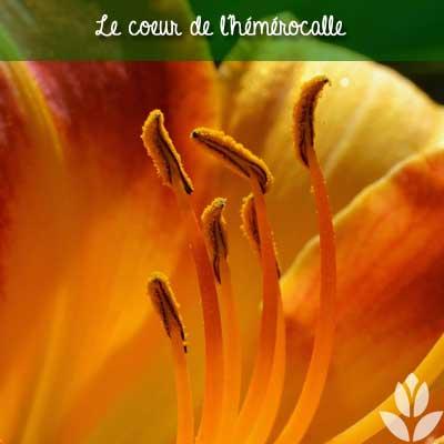 hémérocalle coeur fleur