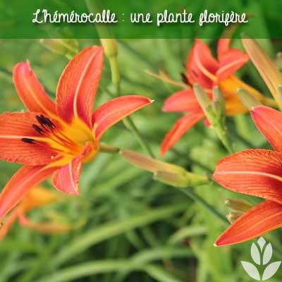 hémérocalle florifère