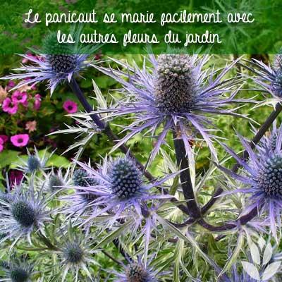 panicaut mariage et association avec les autres plantes du jardin
