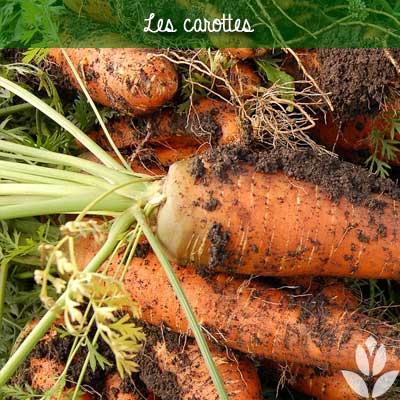 les carottes du potager