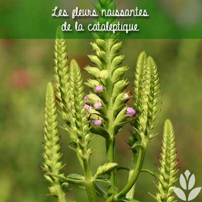cataleptique fleurs