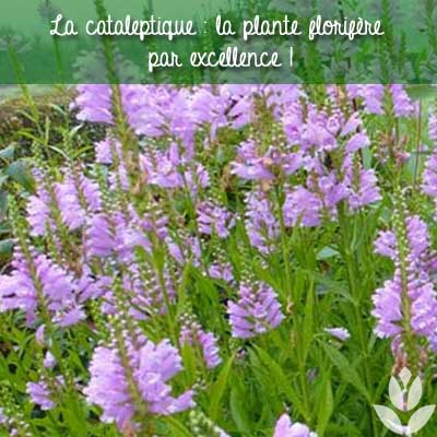 cataleptique florifère