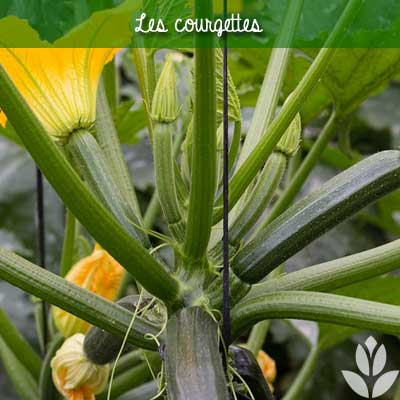 courgettes potager