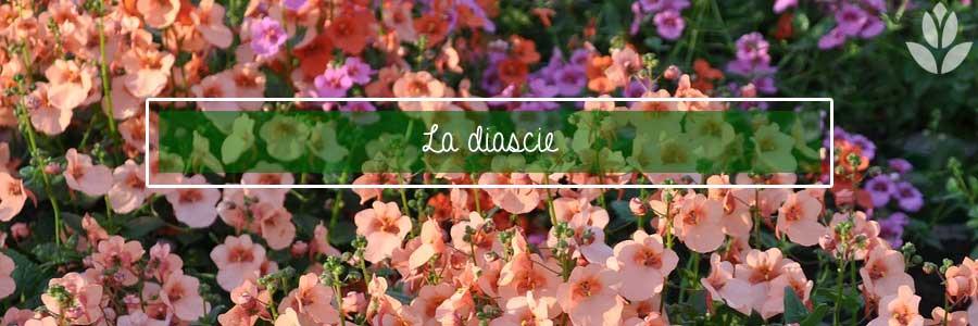 diascie diascia
