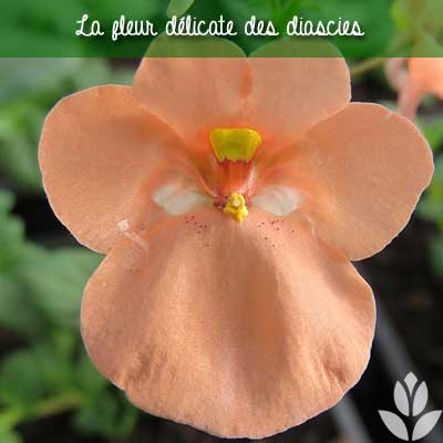 fleur de diascie
